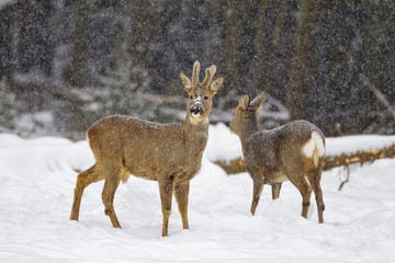 Roe deer standing in snow
