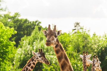 Group of giraffes walks in the park