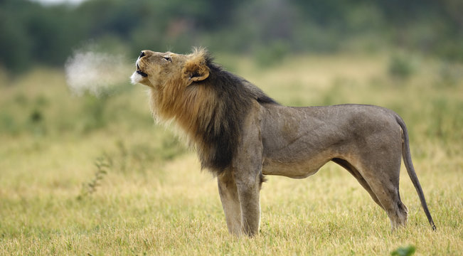 Side view of lion roaring in Etosha National Park