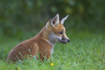 Red fox (Vulpes vulpes) cub sitting outside earth, UK.