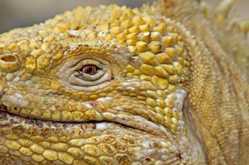 Galapagos land iguana (Conolophus subcristatus) close up, Urbina Bay, Isabela Island, Galapagos.