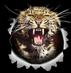 Jaguar head isolated on black background. Angry leopard or jaguar roaring with bared teeth and aggressive glare. Wild big cat for t-shirt print, tattoo design or sticker on racing transport