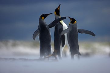 King penguin (Aptenodytes patagonicus) three males displaying on beach, Falkland Islands.