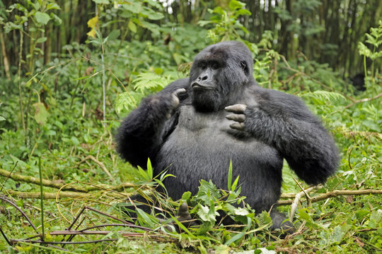 Mountain gorilla (Gorilla beringei beringei) silverback male playing in habitat, drunk on bamboo shoots, Volcanoes National Park, Virunga mountains, Rwanda. Note - if gorillas eat an excess of bamboo shoots they can become intoxicated. Endangered spec