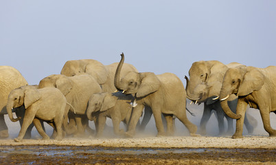 African elephant (Loxodonta africana) female herd approaching waterhole with trunks raised to smell danger, Etosha National Park, Namibia, August. Endangered species.