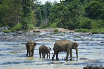 Orphaned Indian elephants at the Udawalawe Elephant Transit Home, Pinnawela, Sri Lanka