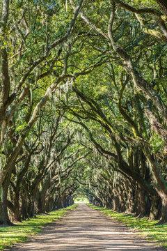 United States, Louisiana, St. John the Baptist Parish. Evergreen Plantation road lined with southern live oak (Quercus virginiana) trees.