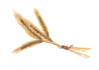 Watercolor autumn harvest. Isolated hand-drawn illustration of wheat ears on the white background.