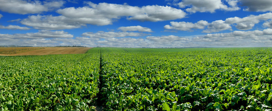 Sugar beet field panoramic view with cloudy blue sky