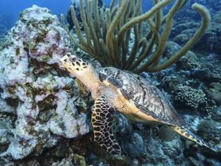 Unterwasser - Riff - Schildkröte - Karettschildkröte - Schwamm - Tauchen - Curacao - Karibik