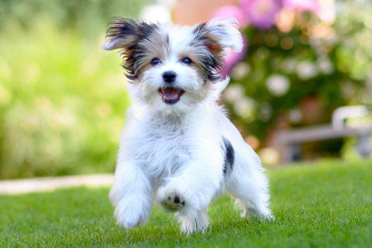 Cute, happy puppy running on summer green grass