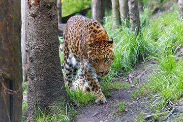 China Leopard, Jaguar, Panter (panthera onca)