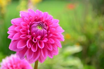 Bright Pink dahlia in full bloom