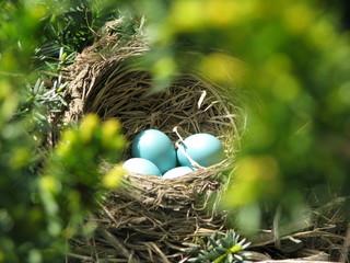Sunlight shining on bright blue Robin eggs in a hidden nest
