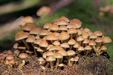 Graublättriger Schwefelkopf, Hypholoma capnoides