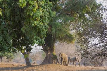 Two Elephants under a Large Tree