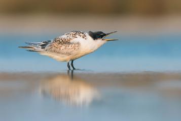 Fledgling sandwich tern calling