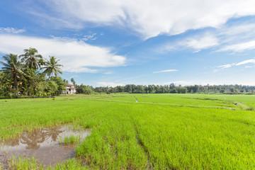 Rice field - Wataddara, Sri Lanka, Asia