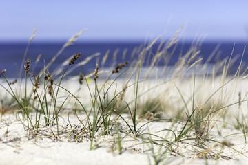 Trawy na wydmie nad morzem