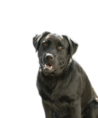Black happy labrador retriever on white background