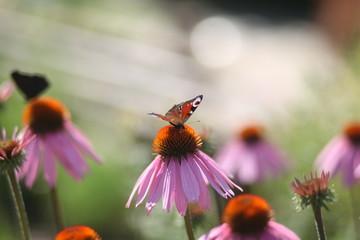 бабочки павлиний глаз на цветах ромашки