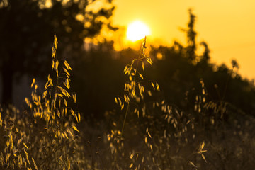 Silhouette of field plants during the sunset with reverse light