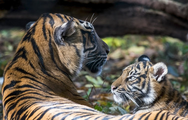 Sumatran tiger and cub