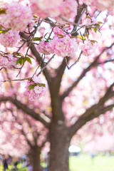 Pink Cherry Blossoms in the Spring