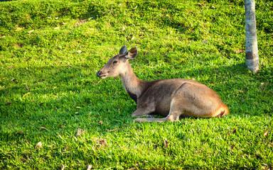 Female deer lie on fresh green grass with nature background.Relaxing deer on garden.