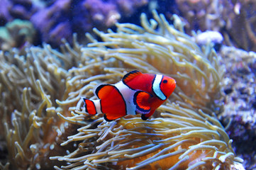 red clown fish in the coral reef