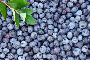 blueberry background with green leaves at the corner Wall mural