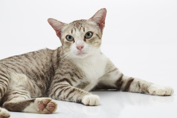 Bengal cat on a white Background