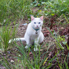 Thai white cat sitting staring from grass.