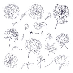 Beautiful peonies set. Hand drawn blossom flowers, buds and leaves. Black and white vector illustration collection.