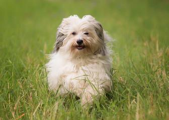 running havanese dog
