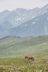 Horse in Altai mountains, Russia