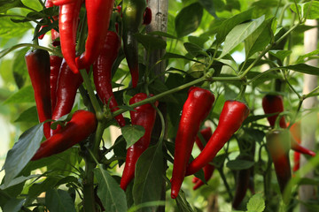 Canvas Prints Hot chili peppers Chili peppers in the greenhouse. Homegrown organic food, chili peppers ripening in garden.