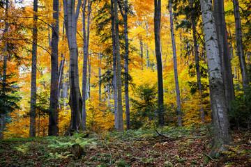Las bukowy w kolorach pełnei złotej jesieni