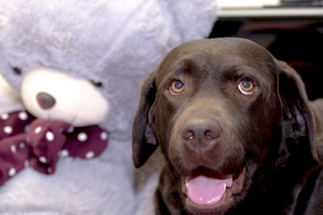 Chocolate Labrador Retriever with a teddy bear. A Chocolate Labrador Retriever can vary in color from a medium brown coat through to a very dark brown.