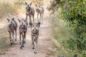 A pack of African wild dogs running.