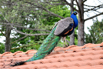 Peacock on a roof close up photo