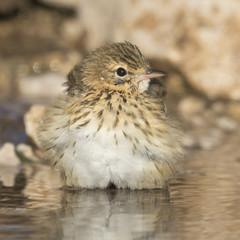 Bird, tree pipit while refreshing