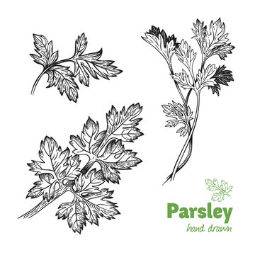 Parsley plant and leaves vector hand drawn illustration