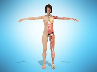 A female nude body anatomy for books 3d illustration on blue