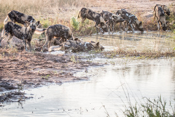 A pack of African wild dogs drinking.