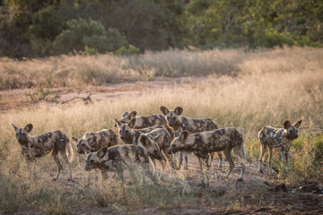 A pack of African wild dogs in the grass.