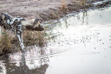 An African wild dog drinking water.