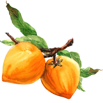 Lucuma, branch with leaves, Pouteria lucuma, ripe Egg fruit isolated, watercolor illustration on white