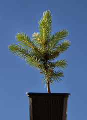 Small fir tree in a pot.