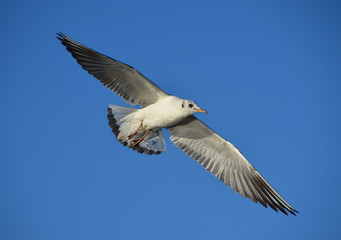 Seagull flies blue sky background